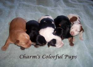 Colorful Chandler Run Pups