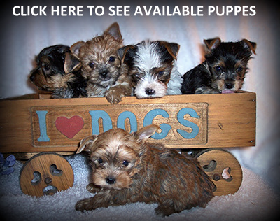 Available Puppies Blog